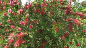 My Bottlebrush - or Melaleuca Citrina